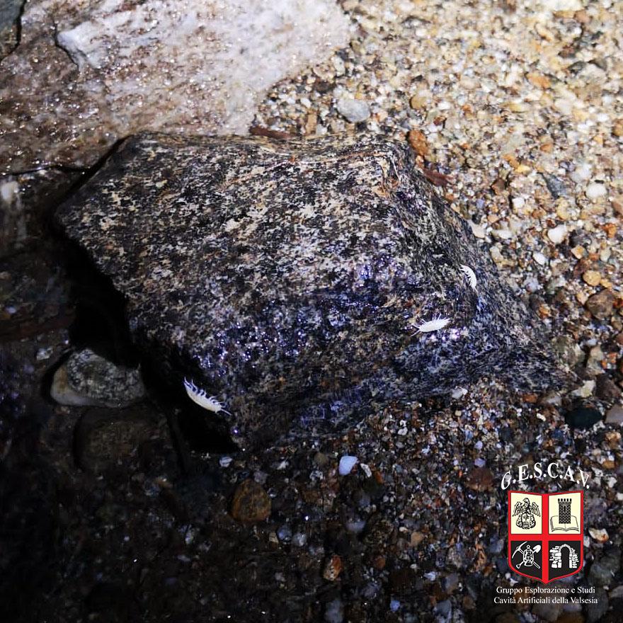 I piccoli gamberetti ipogei d'acqua dolce all'interno dell'acquedotto